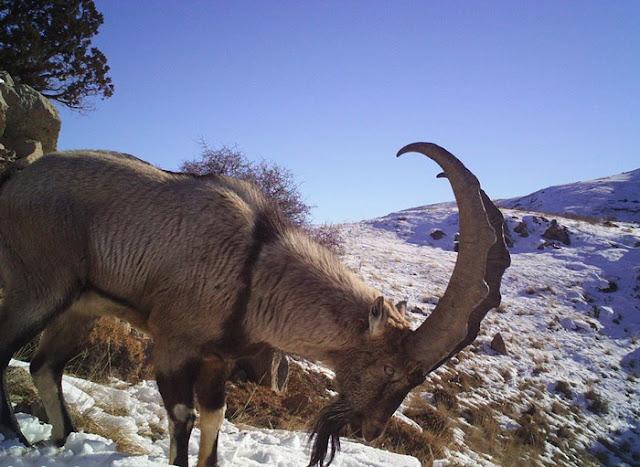 ibex bezoar