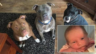 3-week-old Baby Girl Gets Bitten To Death After She Was Left Alone With The family's pit bull Dogs