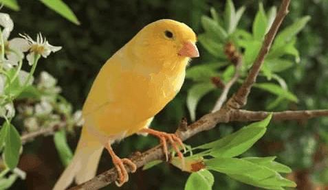 cara memaster burung kenari