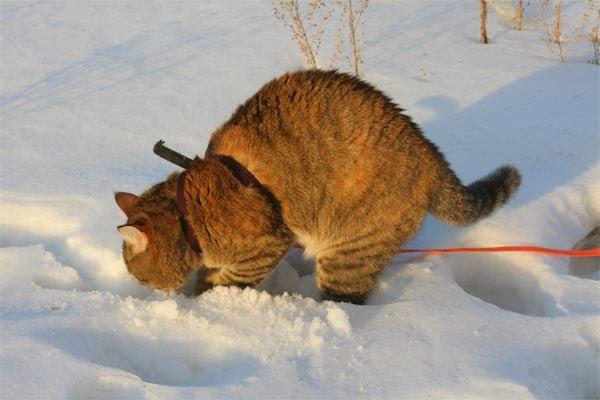 кошка гуляет зимой