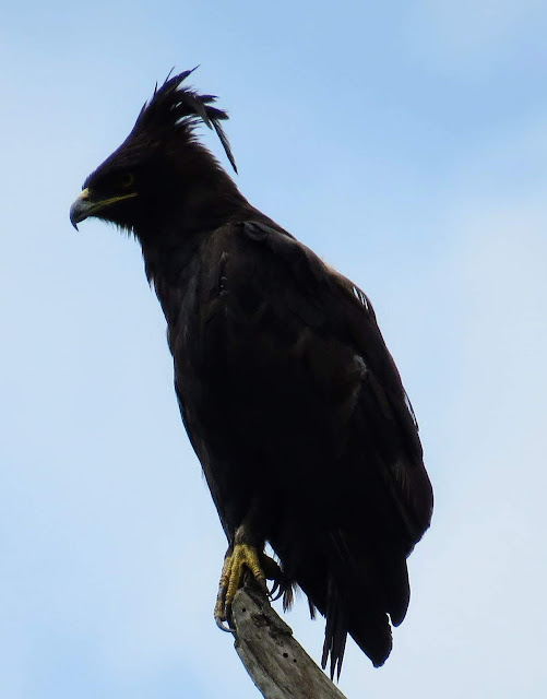 long crested eagle in Uganda