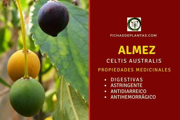 El almez tiene propiedades Astringentes y se le atribuyen beneficios estomacales.