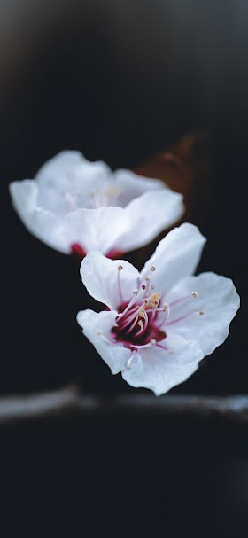 خلفية أزهار بيضاء رقيقة بخلفية سوداء داكنة
