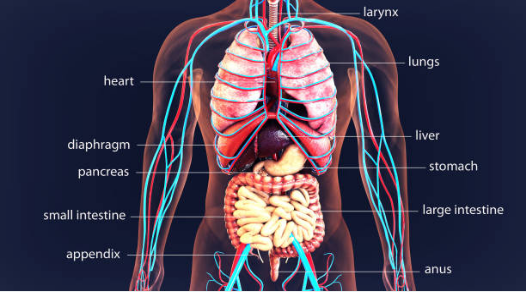 Human Body Anatomy and Organs