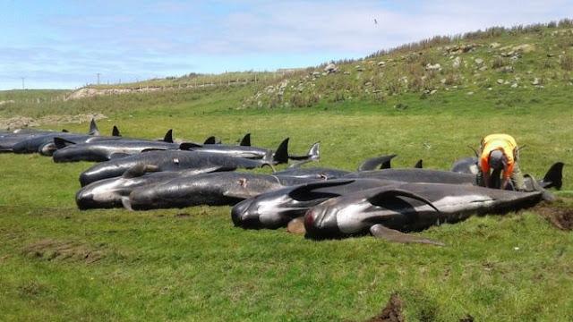 50 φάλαινες-πιλότοι εκβράσθηκαν σε ακτές της Ισλανδίας