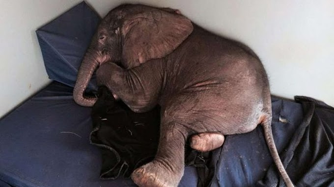 Rejected by his herd sick baby elephant found comfort and high spirit in former service dog