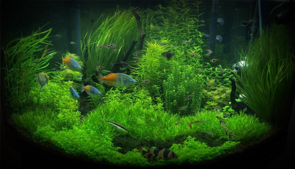 cỏ cọp trồng hậu cảnh cho hồ thủy sinh thêm sinh động