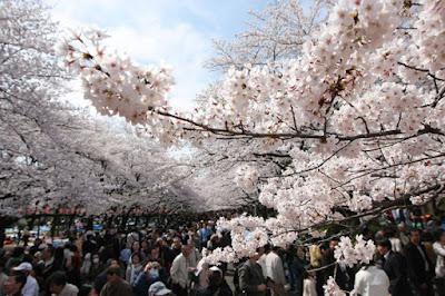ทัวร์ญี่ปุ่นชมดอกซากุระห้ามส่งเสียง