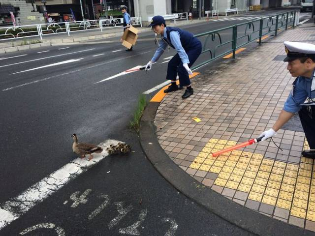 Japanese Police Officers Helping A Duck Family Cross The Road.