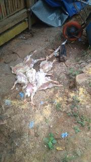 contoh ayam mati terkena penyakit