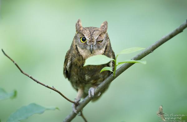 Oriental scops owl by basaki