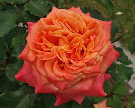 La Villa Cotta сорт розы фото минск