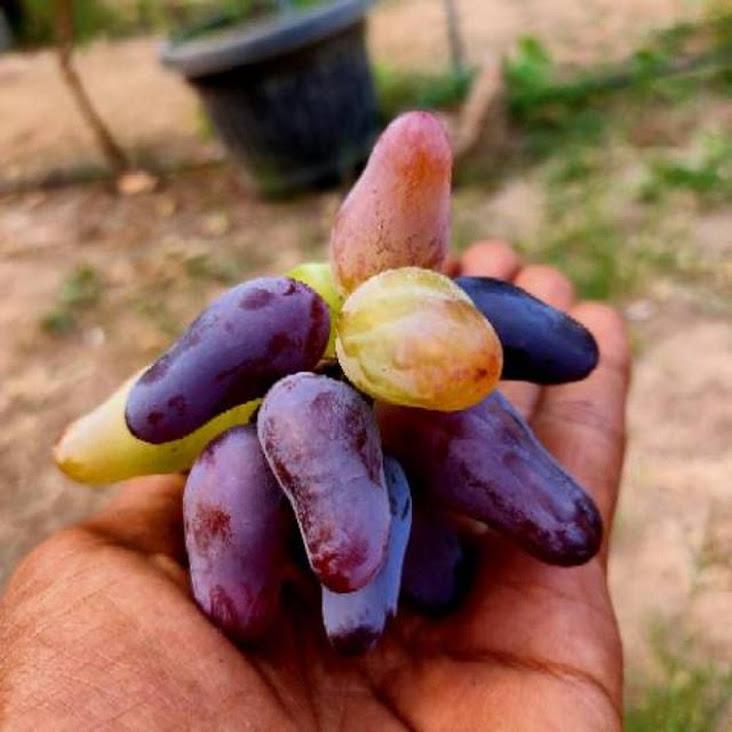 Bibit anggur import Riau