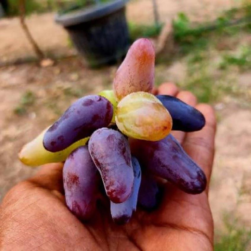 Bibit anggur import Jawa Barat