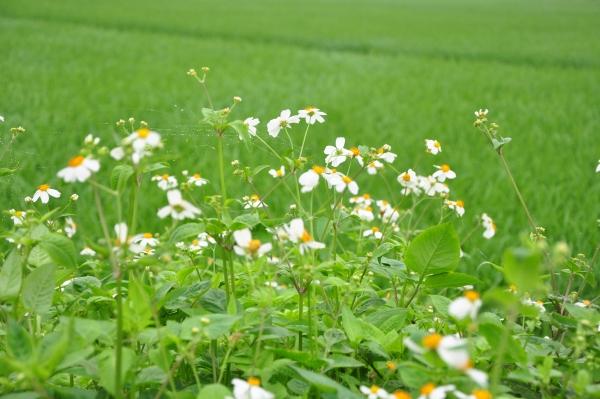 Biện pháp điều trị từ cây hoa xuyến chi