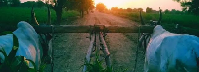 शेतकरी बैल जोडी