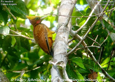Chestnut Woodpecker