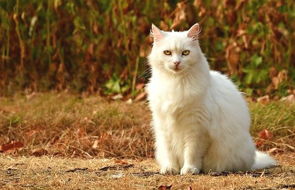 Arti Mimpi Kucing Putih Dalam Berbagai Keadaan