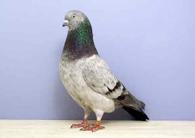 Gambar burung merpati  jenis kontes