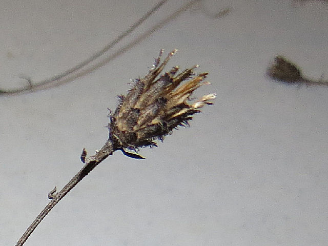 spotted knapweed seed case