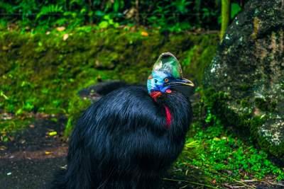 """दुनिया का सबसे खतरनाक पक्षी """"कैसोवरी"""", The most dangerous bird in the world"""