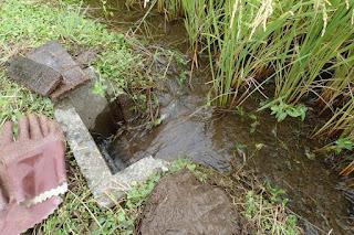 鉄コーティング湛水直播稲刈り直前の水管理