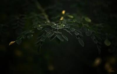 efek-samping-daun-kelor