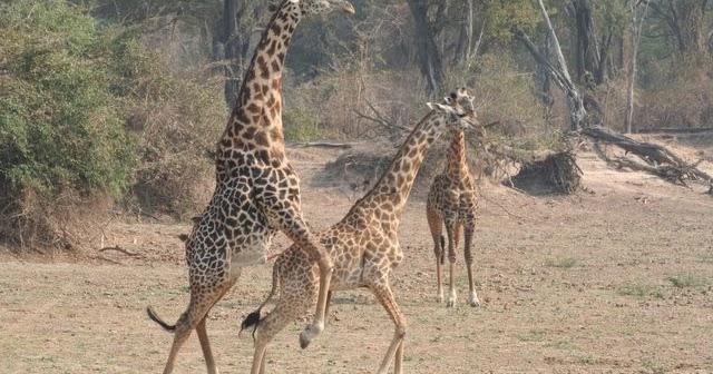 giraffes mating   My HD Animals  giraffes mating...