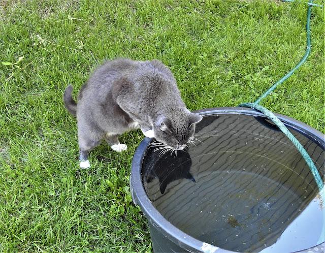 kissa, saavi, jano, kissa juo saavista, vesisaavi, heijastus, kesä
