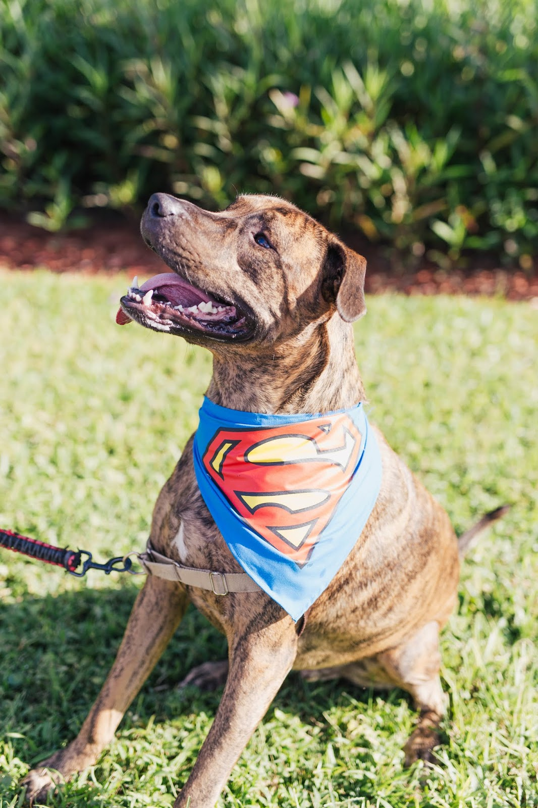 Cute brindle dog wearing superman bandana from Petsmart