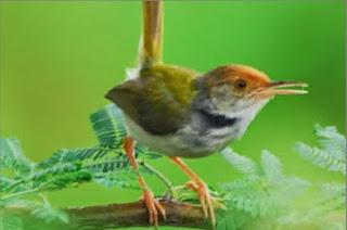 Ciri burung ciblek prenjak siap dibawa kelapangan ditandai dengan rajin berkicau