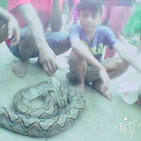 ular phyton tertangkap di desa tampingan 4 februari 2016