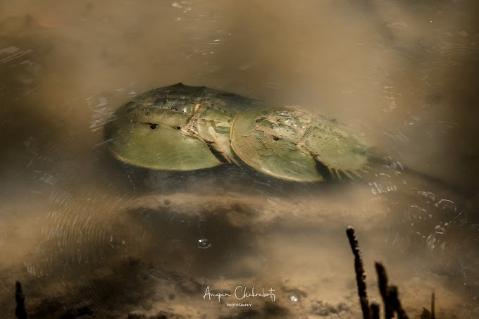 Horseshoe crab mating