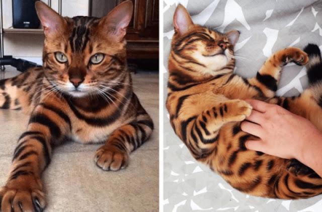 Знакомьтесь, бенгальский кот по кличке Тор, у него безумно красивая шерстка