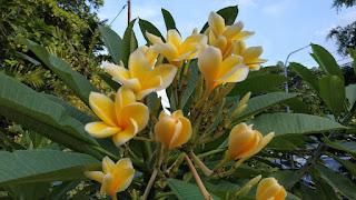 Manfaat Bunga Kamboja Kuning