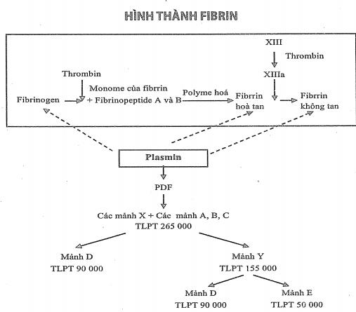 ý nghĩa xét nghiệm D-dimer, định lượng D-dimer để làm gì, Các yếu tố làm tăng D-dimer, tạo fibrin và tiêu fibrin, bệnh lý huyết khối và d-dimer.