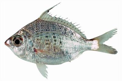Jenis - Jenis Ikan Air Laut Ekonomis Penting [Bagian 9]