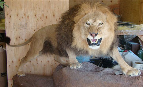 Bad Lions A Guide To Lion Taxidermy