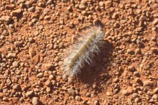 Caterpillar In Uluru Australia