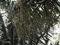 Teddy bear palm fruits - Ho'omaluhia Botanical Garden, Kaneohe, HI