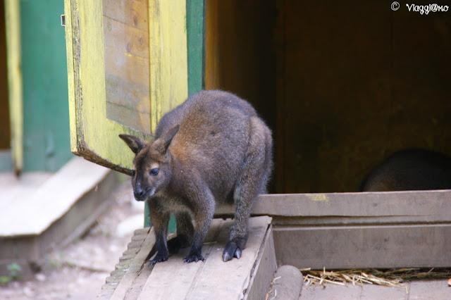 I canguri sono tra gli ospiti dello zoo del Parco Pallavicino di Stresa