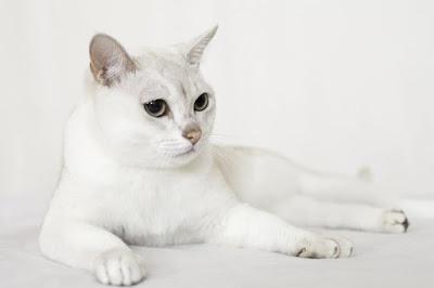 Kucing Burmilla