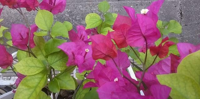 Bouganvillea%2Bflowers.jpg