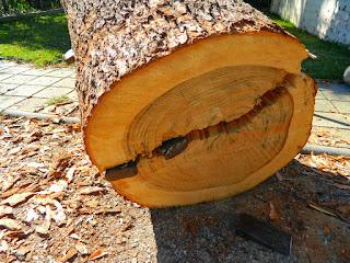 karakteristik-kayu-kamper.jpg