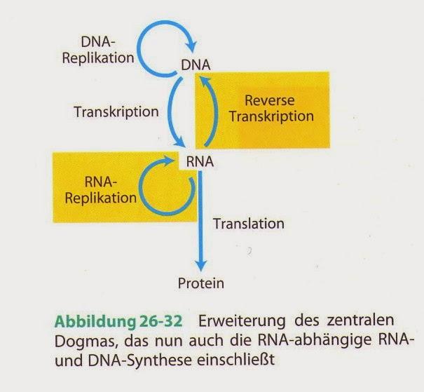 unterschied dna replikation und transkription