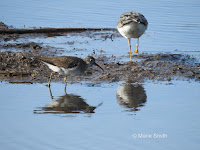 Solitary sandpiper with Greater Yellowlegs – Stream in Summerside, PEI – Aug. 7, 2017 – © Marie Smith