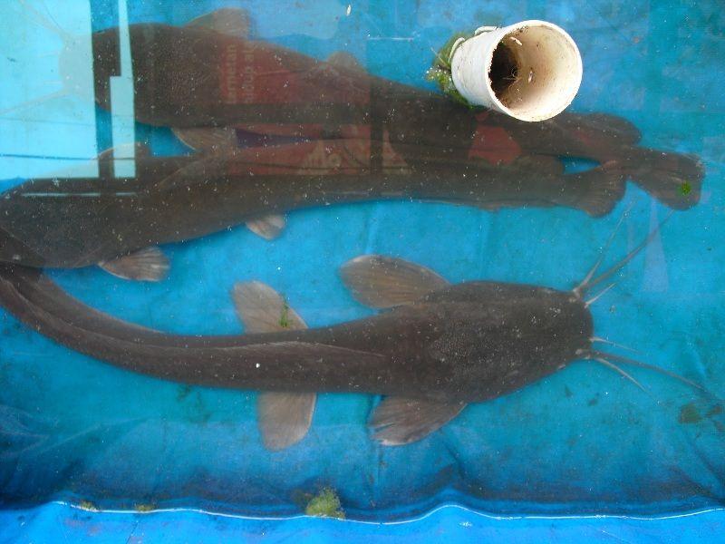 gambar ikan lele Pyton