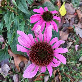 Echinacea flower_Sue Reno