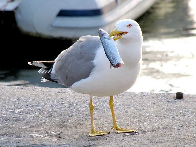 Sea gull with a fish, Porto Mediceo, Livorno