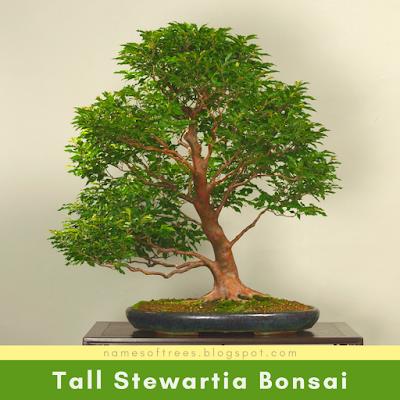 Tall Stewartia Bonsai